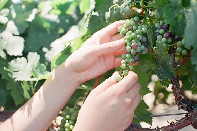 grape picking - photo by Kara Miller https://ruffledblog.com/organic-romantic-wedding-inspiration